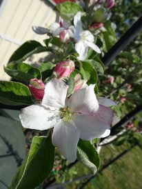 Apple Blossom - 1