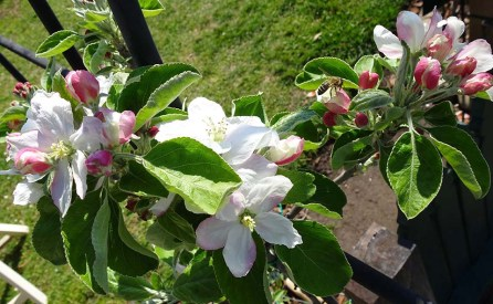 Apple Blossom - 2