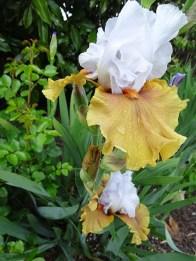 Bearded Iris - 4