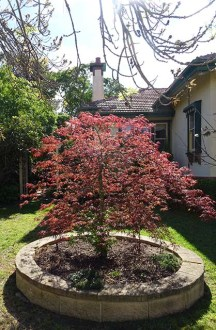 Japanese Maple - 2