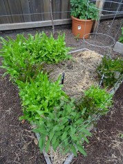 Lettuce, asparagus and sage - and in the pot in the background - potatoes.