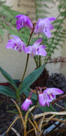 Orchid - 1