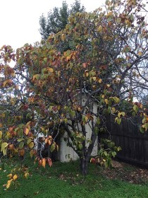 The quince tree in autumn...