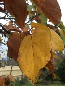 The golden hue of the quince leaves...
