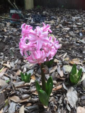 Hyacinth orientalis (Pink)