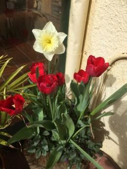 "Tulip ""Ile de France"" & Daffodil ""Ice Follies"""