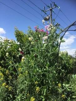Sweet Peas in the Garden