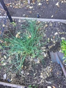 Chives in the garden.