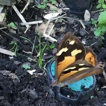 Butterfly in the Veggie Patch