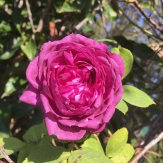 The beautiful climbing rose that is a key ingredient in my Rhubarb and Rose Petal Jam,