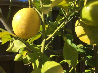 Lemons on the tree - 2