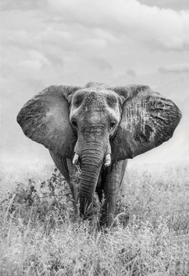 olifant 70x100 2