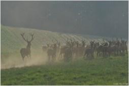 Hirsch auf der Flucht