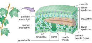 Chlorophyll… not so Borophyll! | SBI4U 2013 Resource Guide