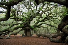 Angel Oak Tree 1500 years old, South Carolina.