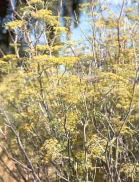 love-weeds-foeniculum-that-many-oovers-sittin-in-there-poppin, so enticin', like days off.