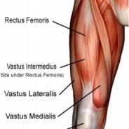 Quadriceps Muscles