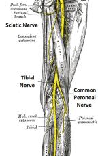 sciatic biceps