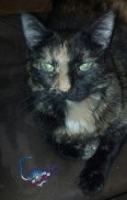 My cat, Kaylee, wondering why she can pose with the mouse, but isn't allowed to play with it.