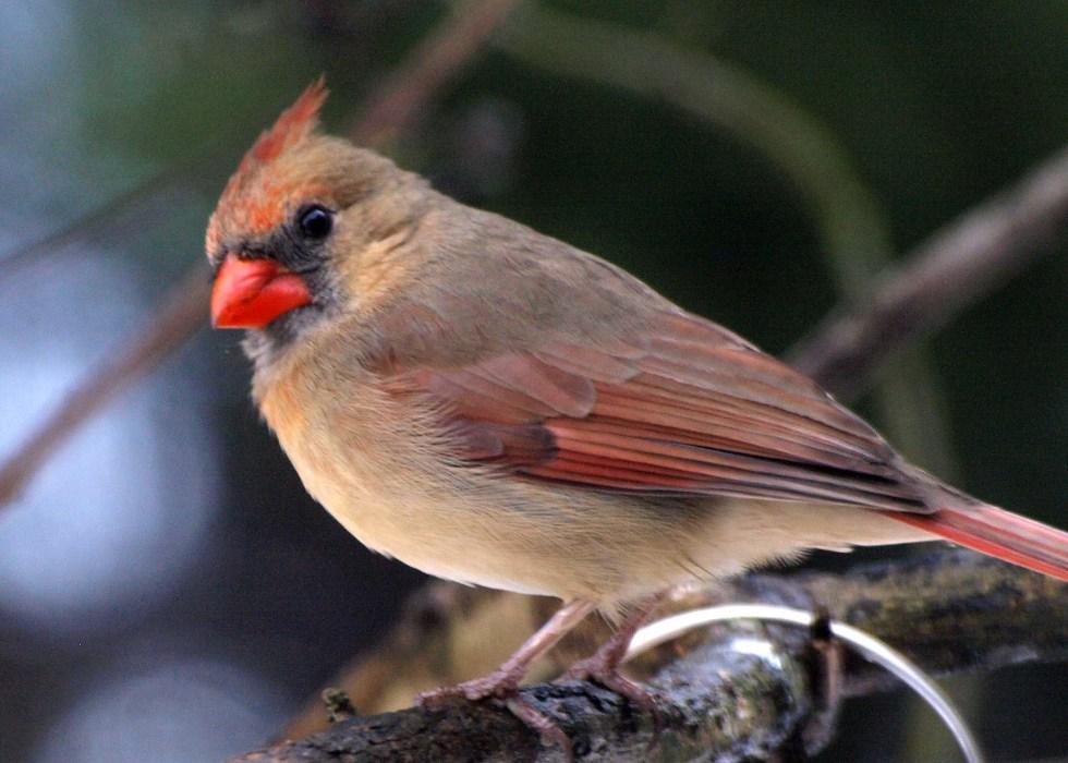 5x7_cardinal female