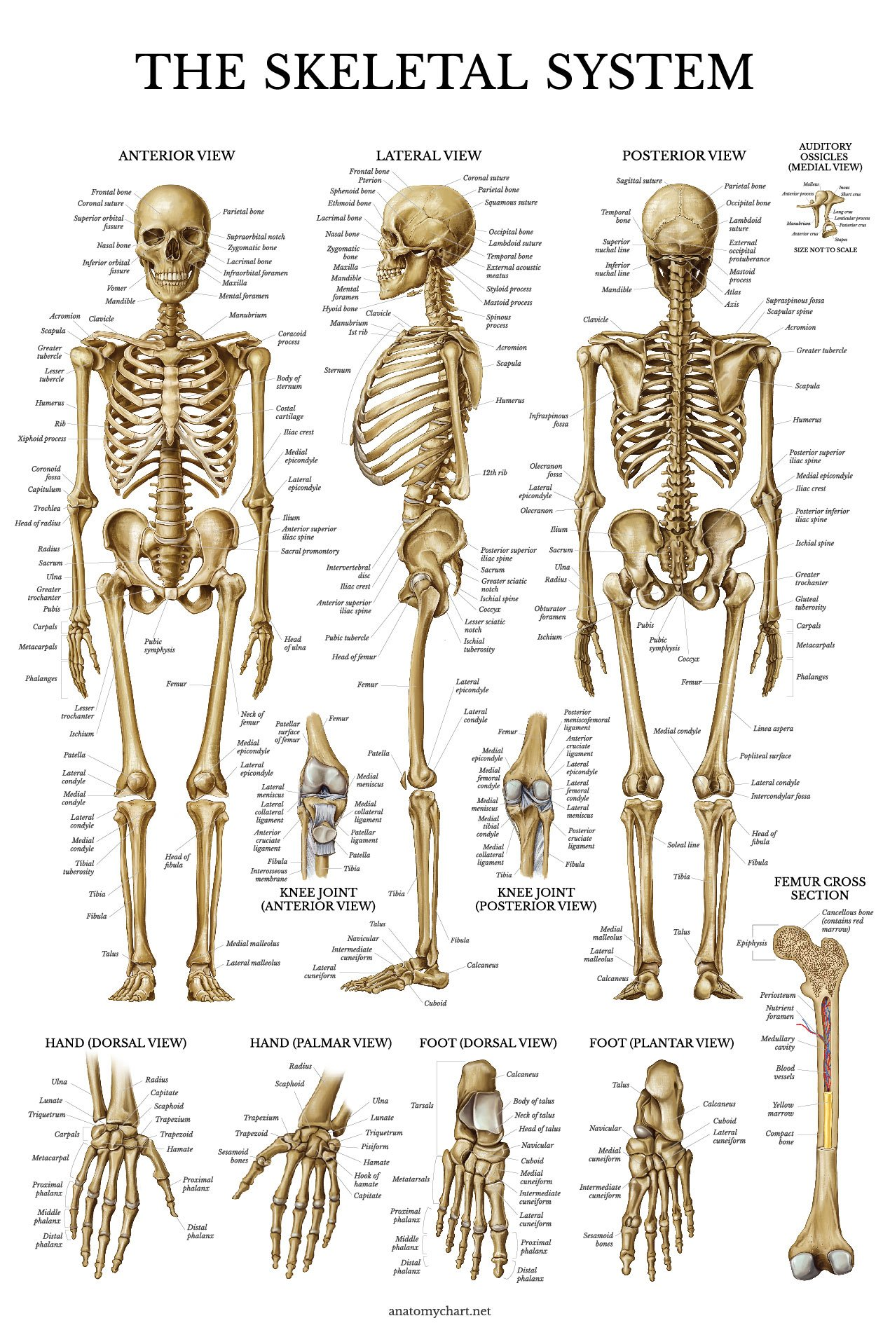 Cheap Anatomical Skeleton For Sale Find Anatomical