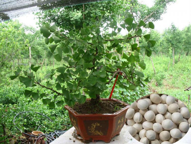 Top Quality Economic Tree Seeds Ginkgo Biloba Seeds For