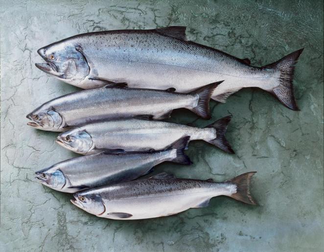 Ikan Salmon Pasifik Tangkap Liar (alaska) - Buy Frozen Wild Salmon,Fresh Wild  Salmon,Wild Salmon Product on Alibaba.com