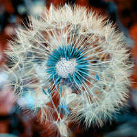Dandelion-extract
