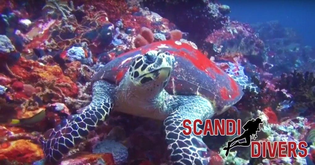 verde island scuba scandi divers resort
