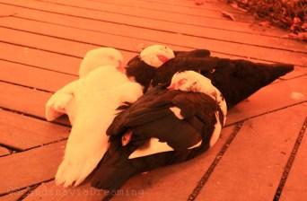 Canards lovés sur un pont de bois