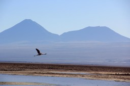 Flamant rose en vol dans les lagunes du désert d'Atacama