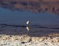 Oiseau des salines d'Atacama