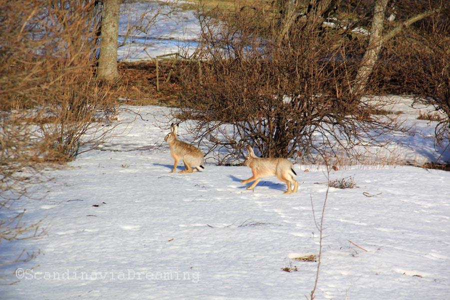 Courir le lièvre à Suomenlinna