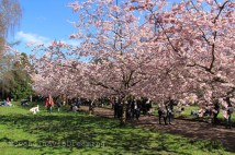 Sakura au cimetière de Bispebjerg