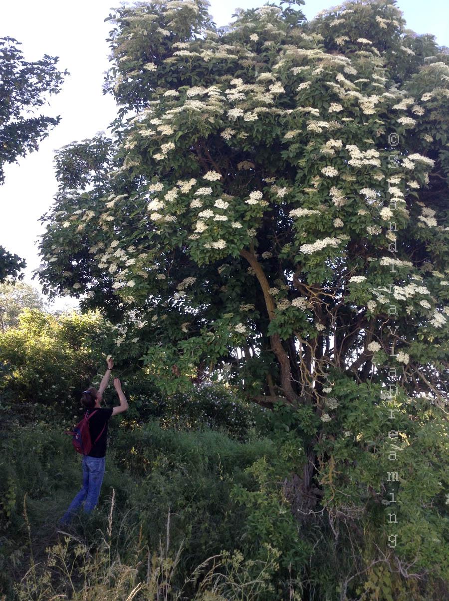 Un arbre à sureau