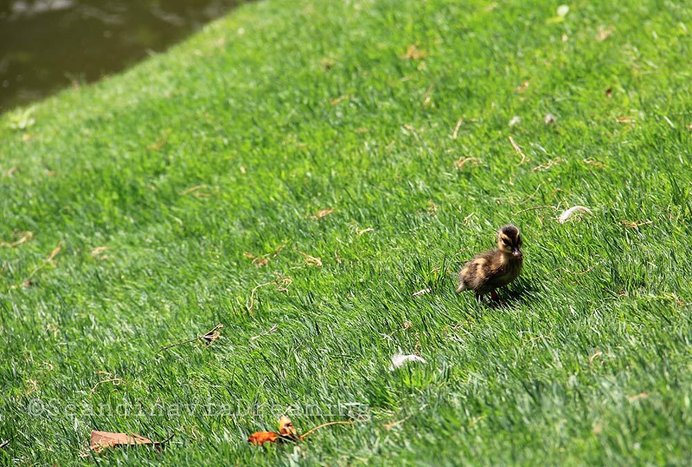 Canneton du jardin des plantes
