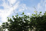 Buisson de houblon