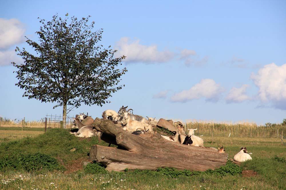 Chèvres de Ven