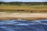 Réserve d'Amager, les oiseaux et les vaches
