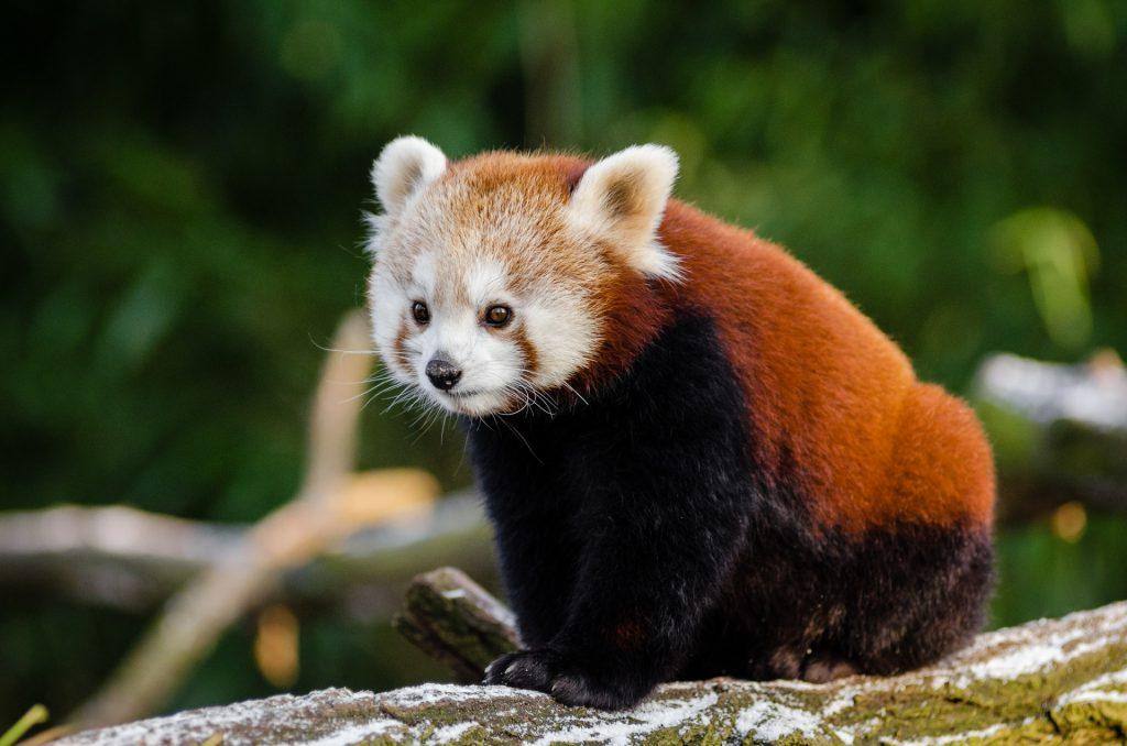 panda-rouge-Japon