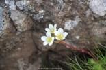 Fleur montagne Féroé