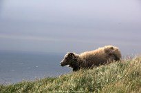 Mouton Mykinesholmur