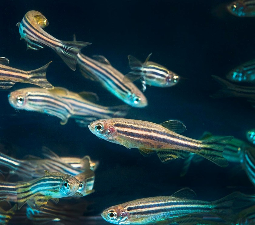 A dozen zebrafish swim in deep blue water. Zebra fish are narrow and long. They have two to three black stripes running down their side.