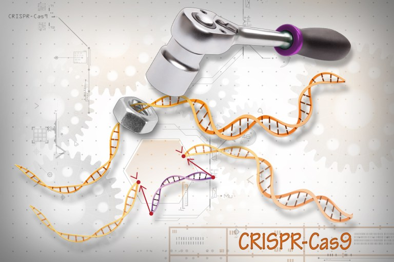 CRISPR-Cas9 is a customizable tool that lets scientists cut and insert small pieces of DNA at precise areas along a DNA strand. The tool is composed of two basic parts: the Cas9 protein, which acts like the wrench, and the specific RNA guides, CRISPRs, which act as the set of different socket heads. These guides direct the Cas9 protein to the correct gene, or area on the DNA strand, that controls a particular trait. This lets scientists study our genes in a specific, targeted way and in real-time.