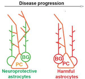 Bergmann glia  help support Purkinje cells early on in ataxia, but as the disease progresses they can actual make symptoms worse.