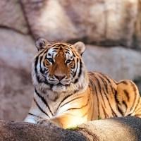 International Tiger Day – 29 July