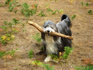 Beardie carrying large stick