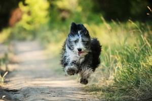 Beardie running