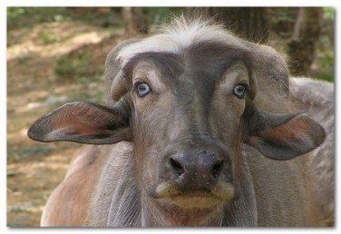 bufala 2