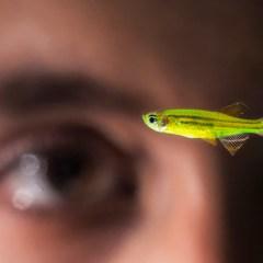 Video: Pet Store Fish May Inform Human Vision